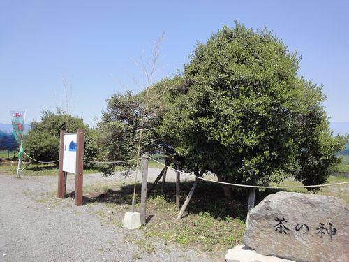 220429 日本一茶樹4