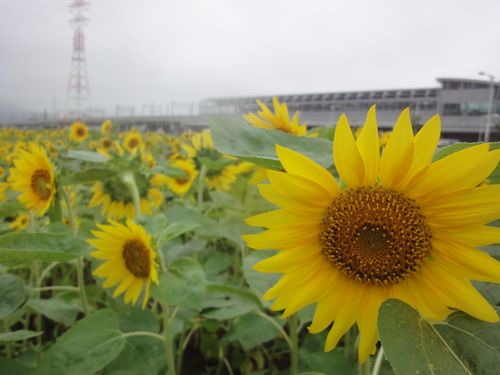220703 新八代駅ヒマワリ3