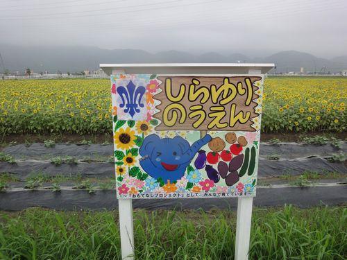 220703 新八代駅ヒマワリ1