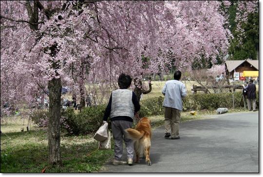 2010,4,19枝垂桜4