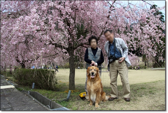 2010,4,19枝垂桜3