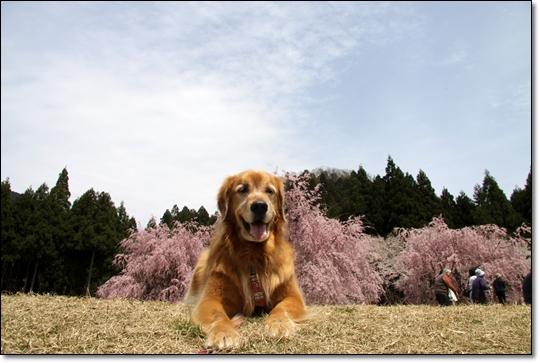 2010,4,19枝垂桜11