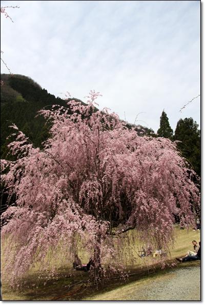 2010,4,19枝垂桜10