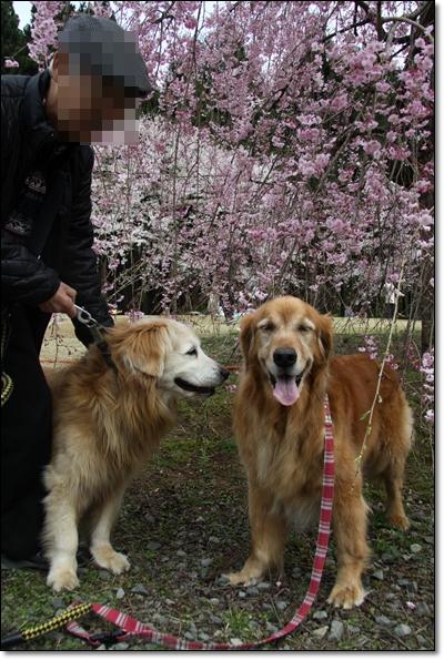 2010,4,19枝垂桜9