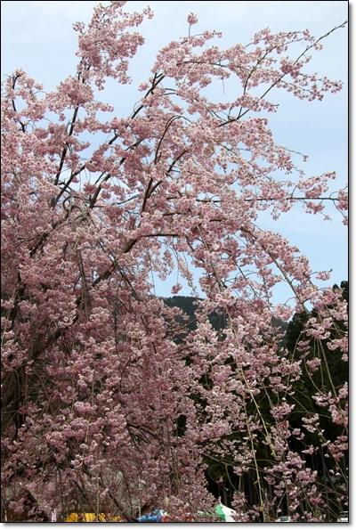 2010,4,19枝垂桜14