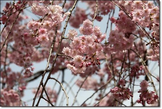 2010,4,19枝垂桜12