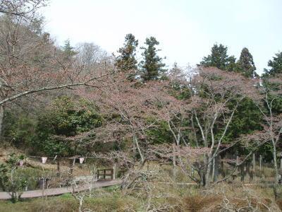 桜は何処へ???1