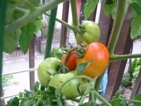 トマトの実色づき