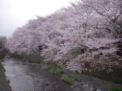 桜ケ丘の桜