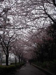 茅ヶ崎中央公園の桜