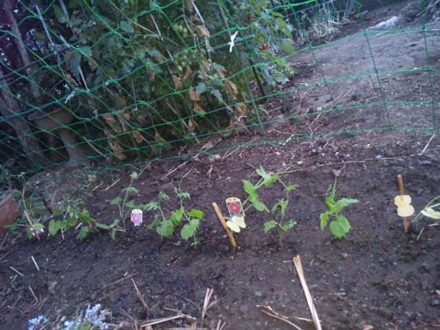 ゴーヤと朝顔の苗たち