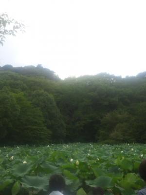 源氏池の白い蓮