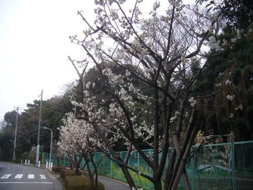 桜が咲いていました!!