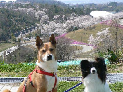 桜とポチテトと
