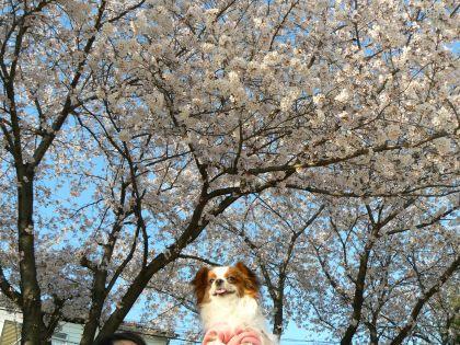 桜とクッキー