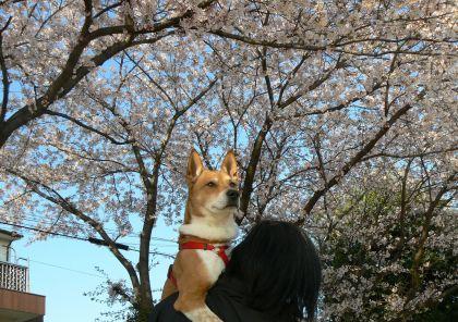 頑張った!桜とポチ