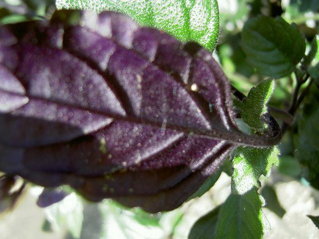 葉の裏は紫・・・綺麗でしょ…(ΦωΦ)フフフ…