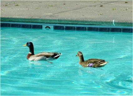 ducks425.jpg
