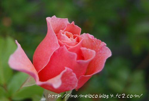 'ウーメロ'2009.5.4_2撮影