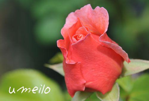 'ウーメロ'2009.5.3撮影