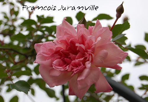 'フランソワ・ジュランビル'2009.5.8撮影