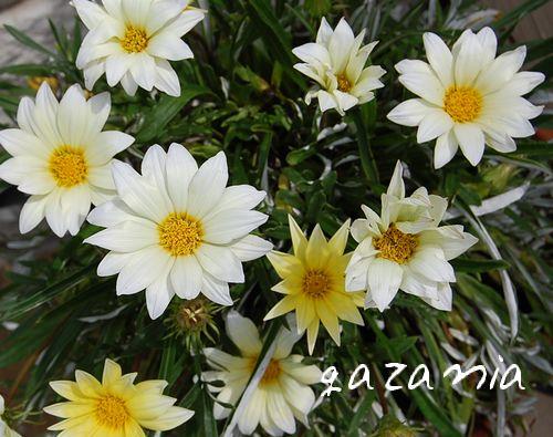 gazania3.jpg