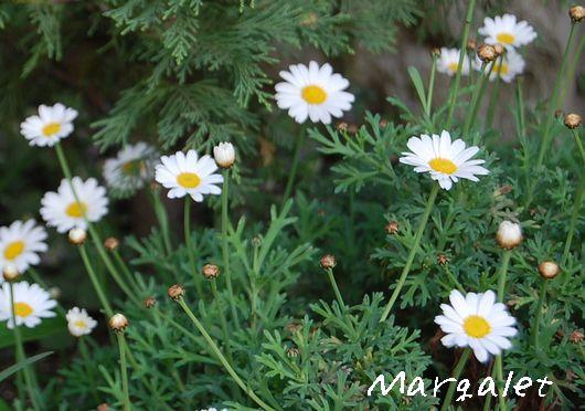 マーガレット2009.4.19撮影