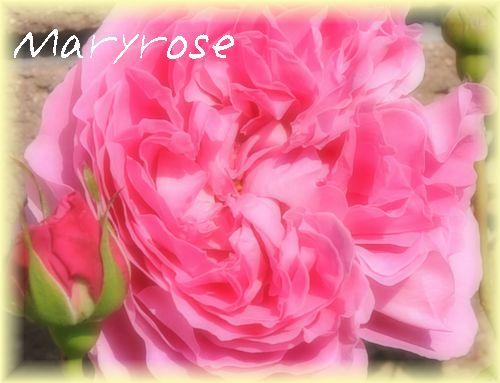 'メアリー・ローズ1'2009.4.29撮影