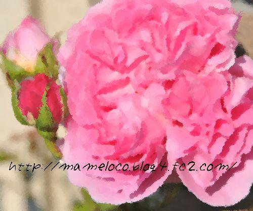 'メアリー・ローズ2'2009.4.29撮影