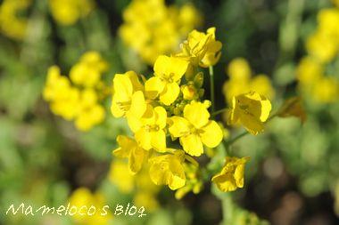 満開の菜の花♪