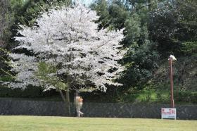ワンコと桜とパパ11