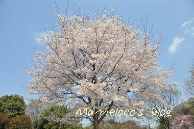 ワンコと桜とパパ3