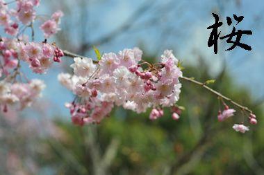 ワンコと桜とパパ5