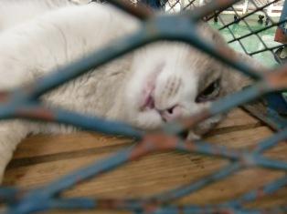 殺された猫白グレー