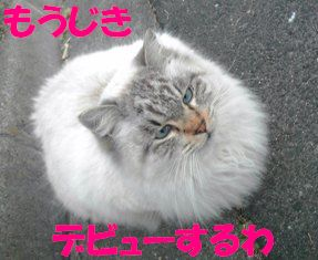 神戸シャム風