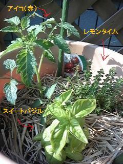 ミニトマト(赤)アイコ