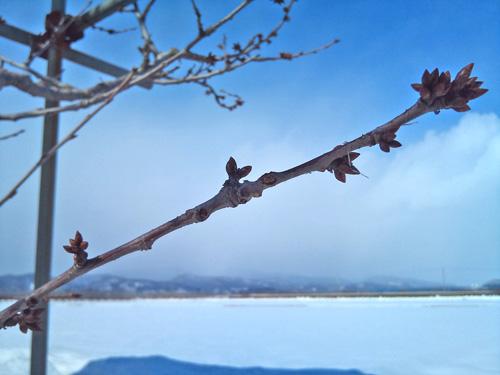 20110302農園さくらんぼ枝先2