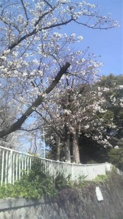 100330桜_R