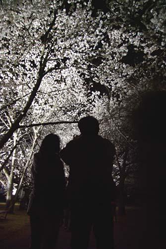 富山県中央植物園にて夜桜