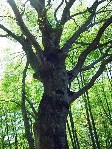 赤祖父山 ブナの大木