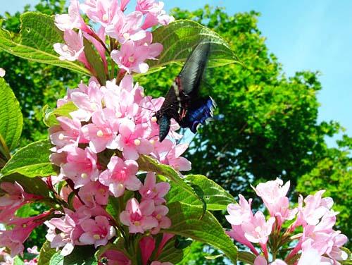 鋲ガ岳と烏帽子山 蝶と花と