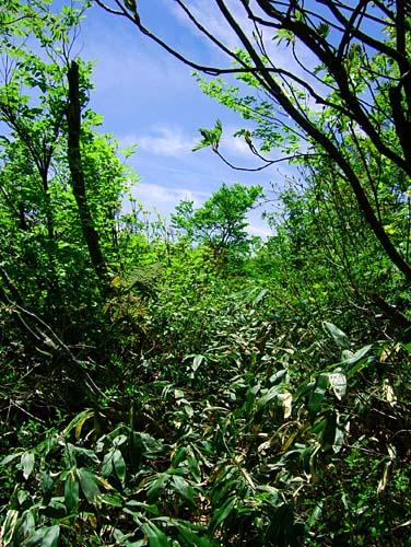鋲ガ岳と烏帽子山 藪に覆われた登山道