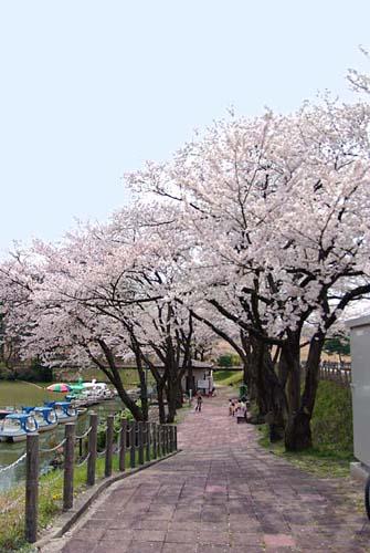 太閤山の桜
