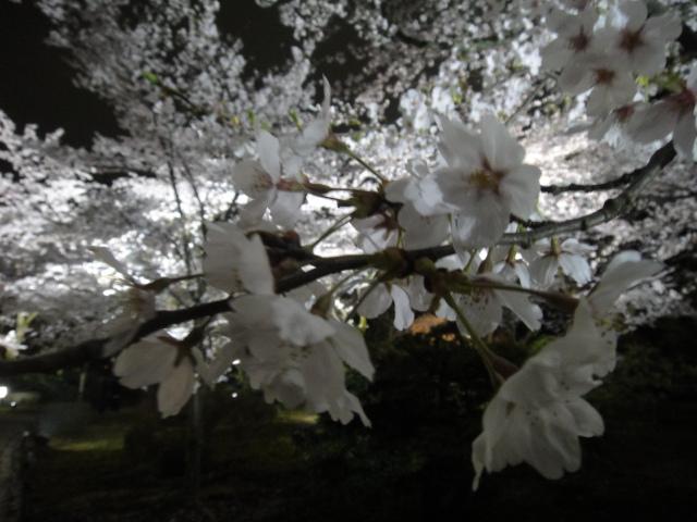 夜桜 背景ぼかし2