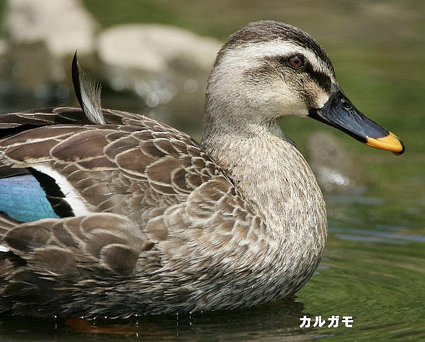 2-karugamo-2005.05.15-2.jpg