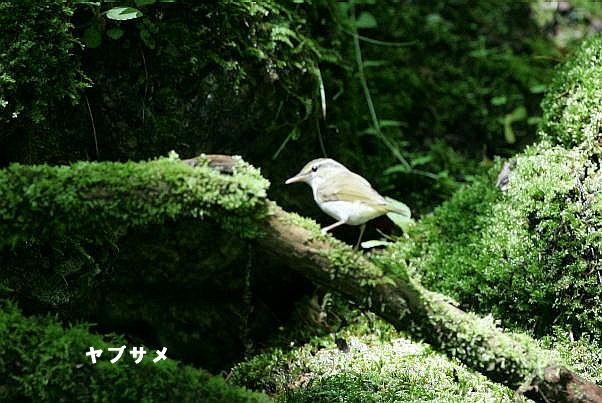 4-yabusame-2005.06.30-1-IS0F7516.jpg