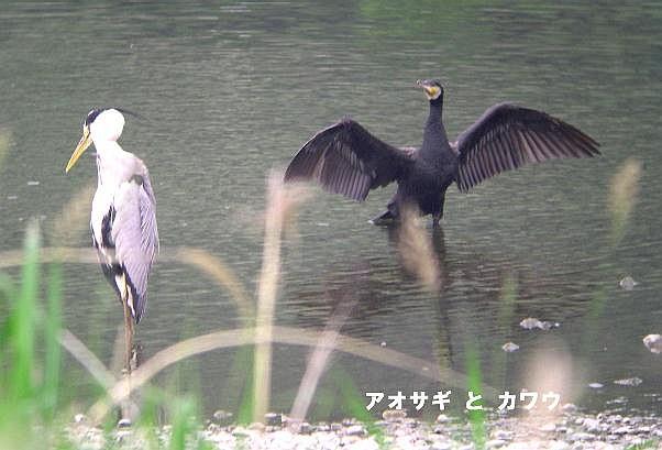 DS-aosagi-kawau-2005.05.28-1.jpg