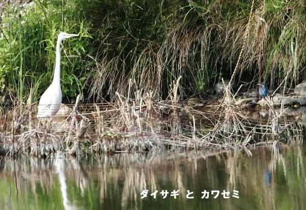 daisagi-kawasemi.jpg