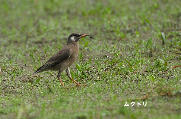 mukudori-2005.06.26-1.jpg
