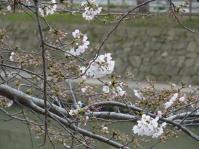 sakura_4.jpg
